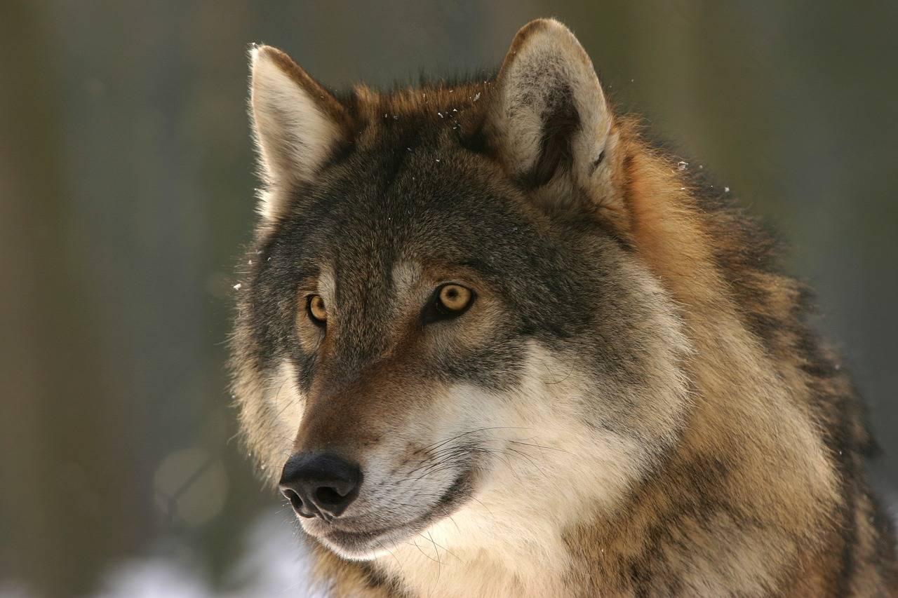 Erstmals im Land gesichtet: Ein toter Wolf (Symbolfoto) wird nahe der A5 bei Lahr gefunden.