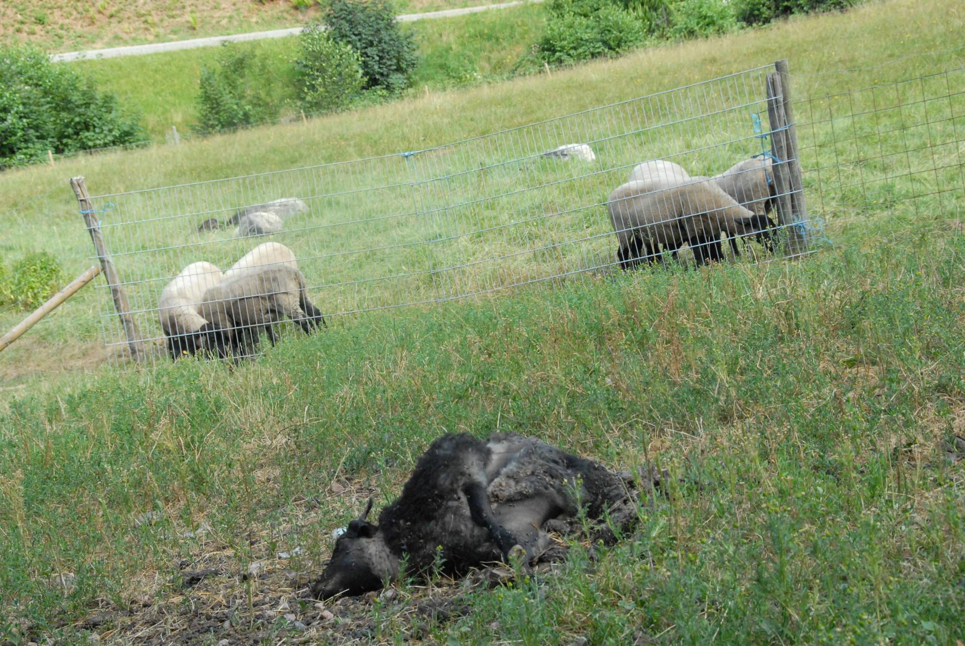 Im Juli 2015 wurde ein Lamm bei Gutach gerissen - der Verdacht fiel auf einen Luchs.